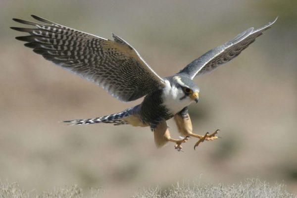 El halcón (12) E